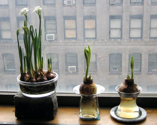 Love the look and scent of narcissus (photo courtesy of apartment therapy)