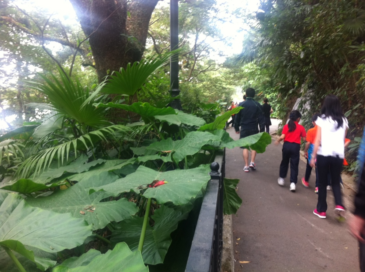 Beautiful and big banana leaves along the walk