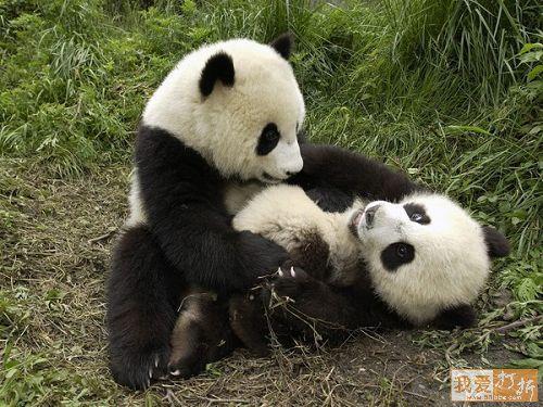 Panda fights